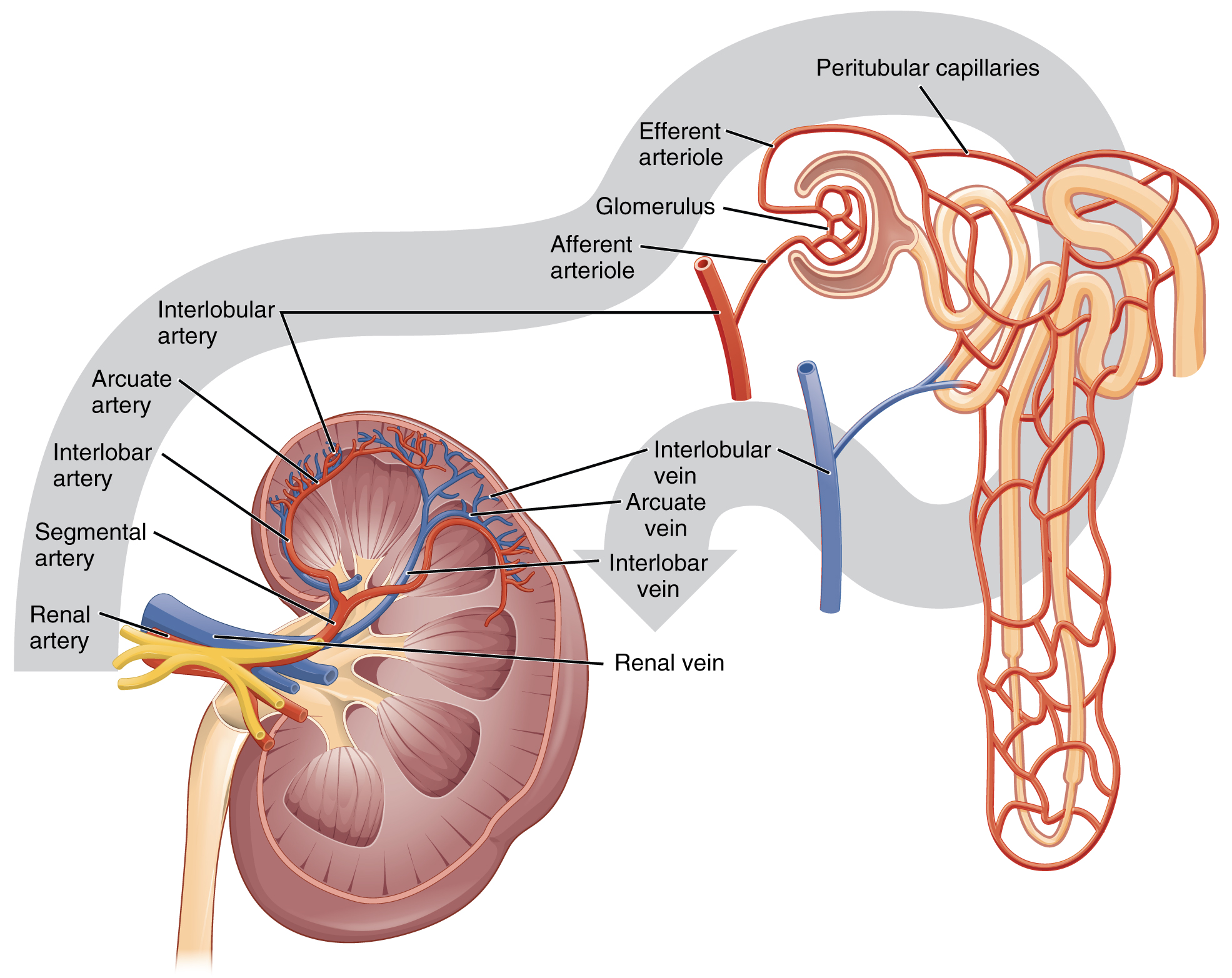 glossary of anatomy and physiology
