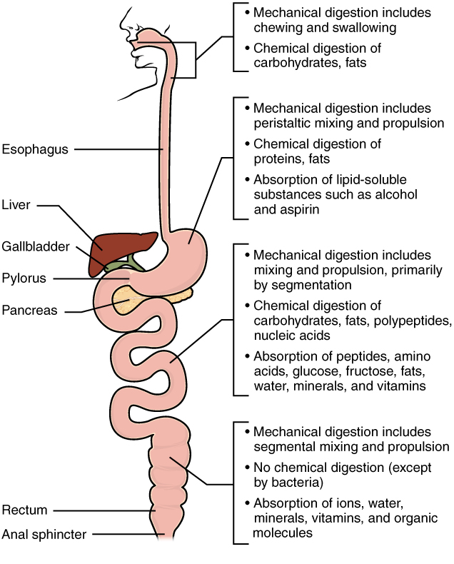 This diagram identifies the functions of mechanical and chemical digestion and absorption at each organ. Next to each organ, a callout identifies which steps of digestion take place in that particular organ.