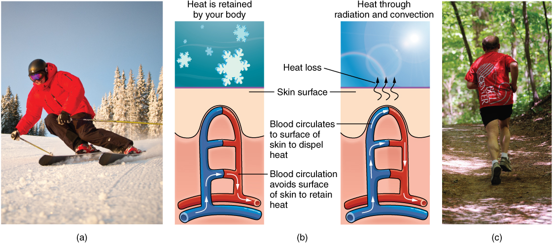 "Part A is a photo of a man skiing with several snow-covered trees in the background. Part B is a diagram with a right and left half. The left half is titled "" Heat is retained by the body,"" while the right half is titled ""Heat loss through radiation and convection."" Both show blood flowing from an artery through three capillary beds within the skin. The beds are arranged vertically, with the topmost bed located along the boundary of the dermis and epidermis. The bottommost bed is located deep in the hypodermis. The middle bed is evenly spaced between the topmost and bottommost beds. In each bed, oxygenated blood (red) enters the bed on the left and deoxygenated blood (blue) leaves the bed on the right. The left diagram shows a picture of snowflakes above the capillary beds, indicating that the weather is cold. Blood is only flowing through the deepest of the three capillary beds, as the upper beds are closed off to reduce heat loss from the outer layers of the skin. The right diagram shows a picture of the sun above the capillary beds, indicating that the weather is hot. Blood is flowing through all three capillary beds, allowing heat to radiate out of the blood, increasing heat loss. Part C is a photo of a man running through a forested trail on a summer day."