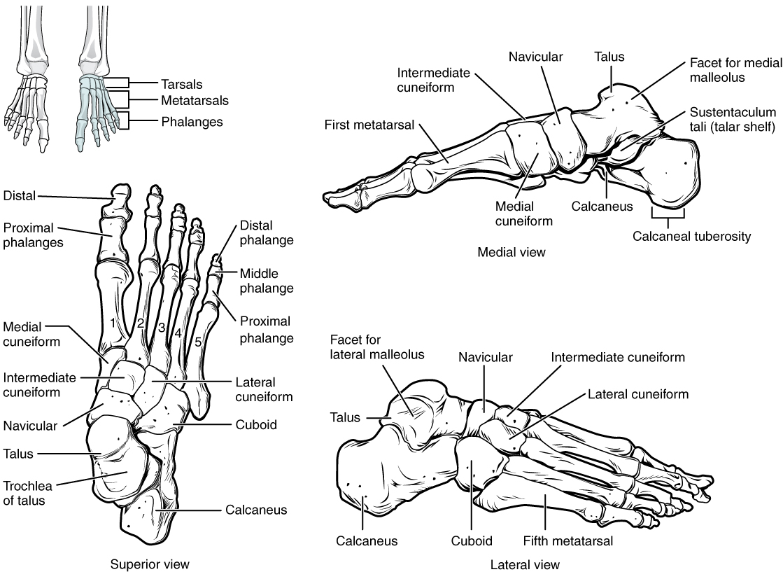 This figure shows the bones of the foot. The left panel shows the superior view, the top right panel shows the medial view, and the bottom right panel shows the lateral view.