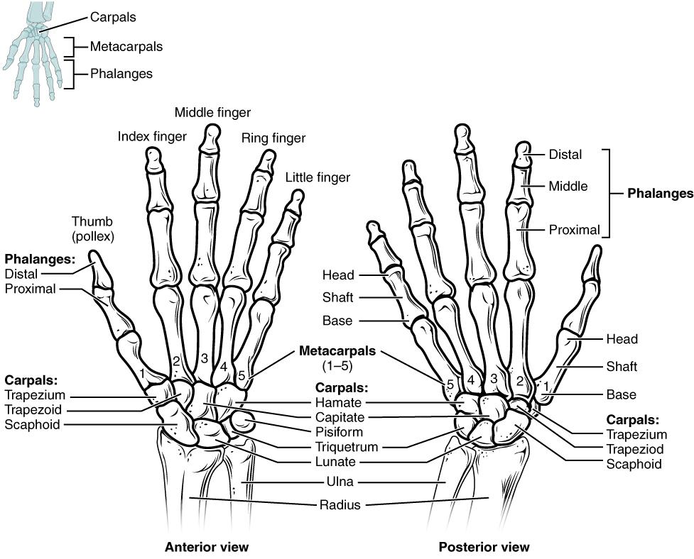 Carpal bones, Skeletal system module 12: bones of the, By OpenStax ...