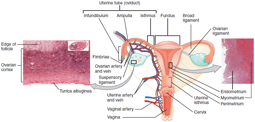 The uterus and cervix, Module 2 anatomy and physiology of, By ...