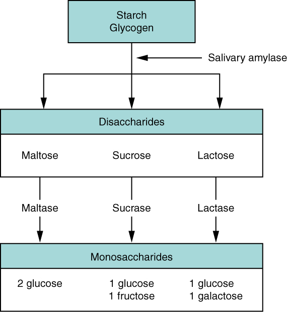 This flow chart shows the steps in digestion of carbohydrates. The different levels shown are starch and glycogen, disaccharides and monosaccharides. Under each type of sugar, examples and the enzymes responsible for digestion are listed.