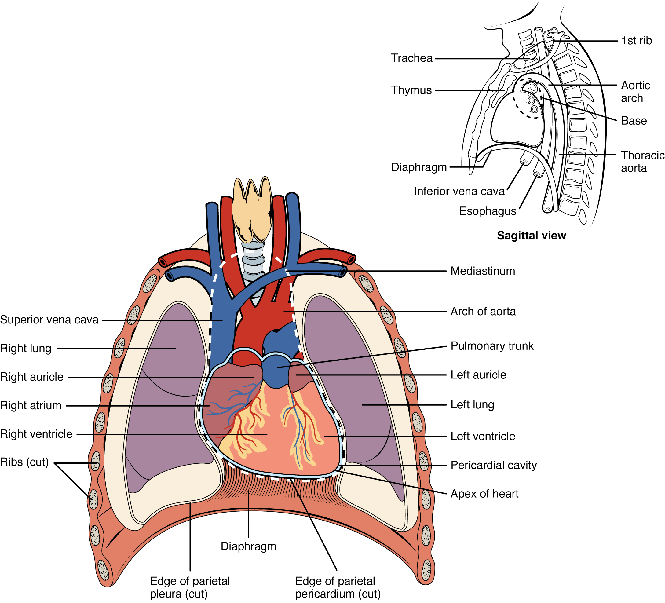 This diagram shows the location of the heart in the thorax.