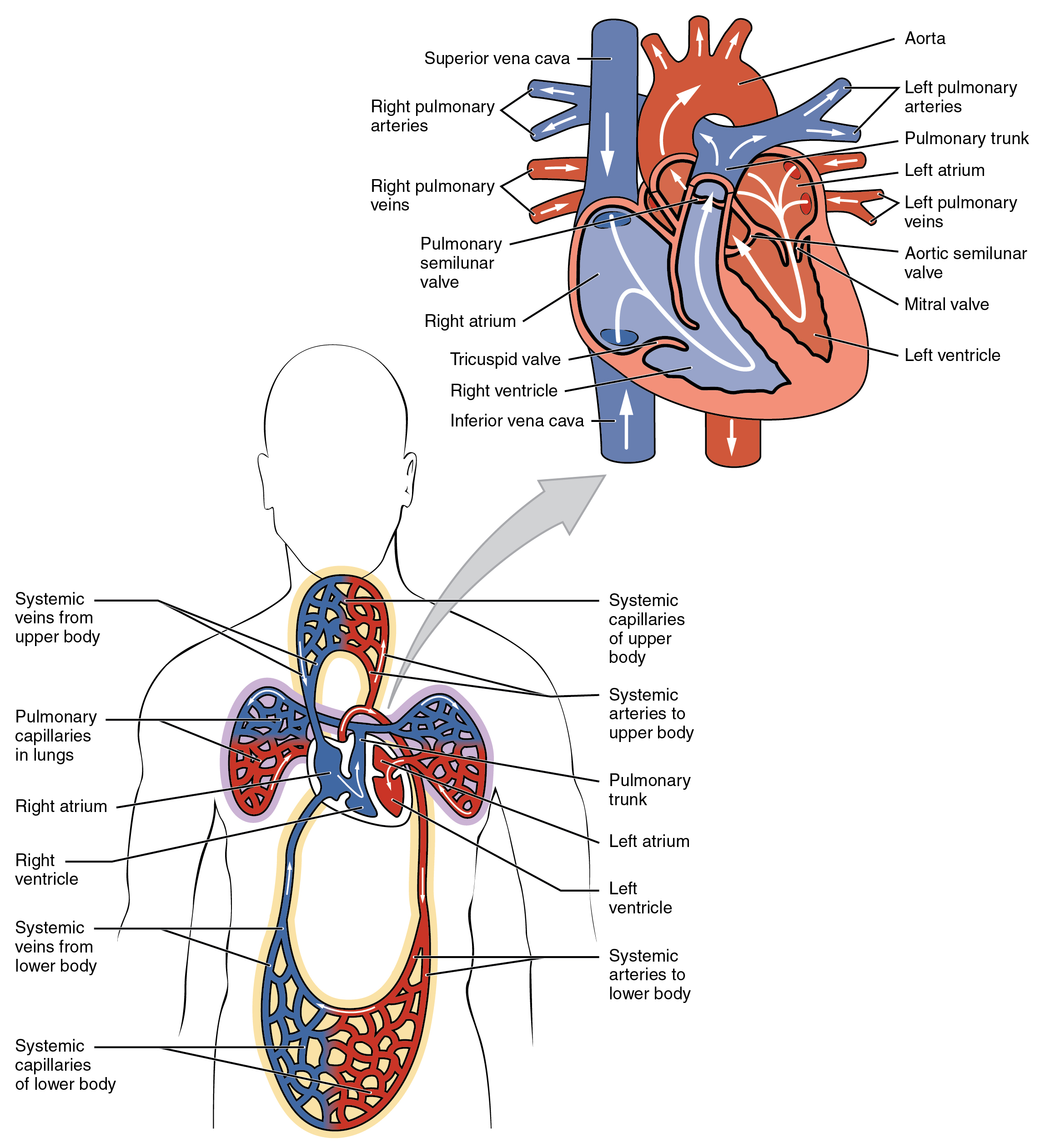 16 Heart Anatomy Circulatory System By Openstax Page 386