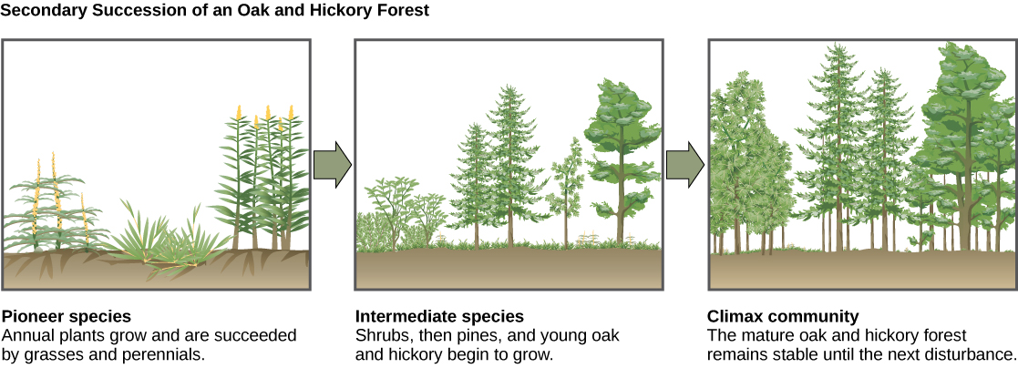 The three illustrations show secondary succession of an oak and hickory forest. The first illustration shows a plot of land covered with pioneer species, including grasses and perennials. The second illustration shows the same plot of land later covered with intermediate species, including shrubs, pines, oak and hickory. The third illustration shows the plot of land covered with a climax community of mature oak and hickory. This community remains stable until the next disturbance.