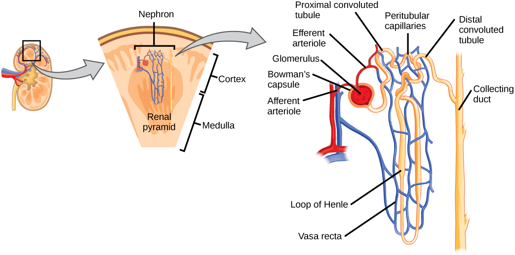 the role of the nephron The role of the nephron the roles of the nephron of the 120 ml of blood that is filtered by the kidneys each minute, only i ml (that's less than i%) turns into urine that will eventually leave the body (after approximately 300 - 400 mis of it accumulates to fill the bladder.