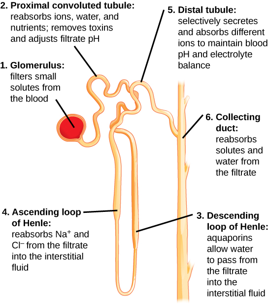 Glomerular filtration, Urinary system anatomy and function, By ...