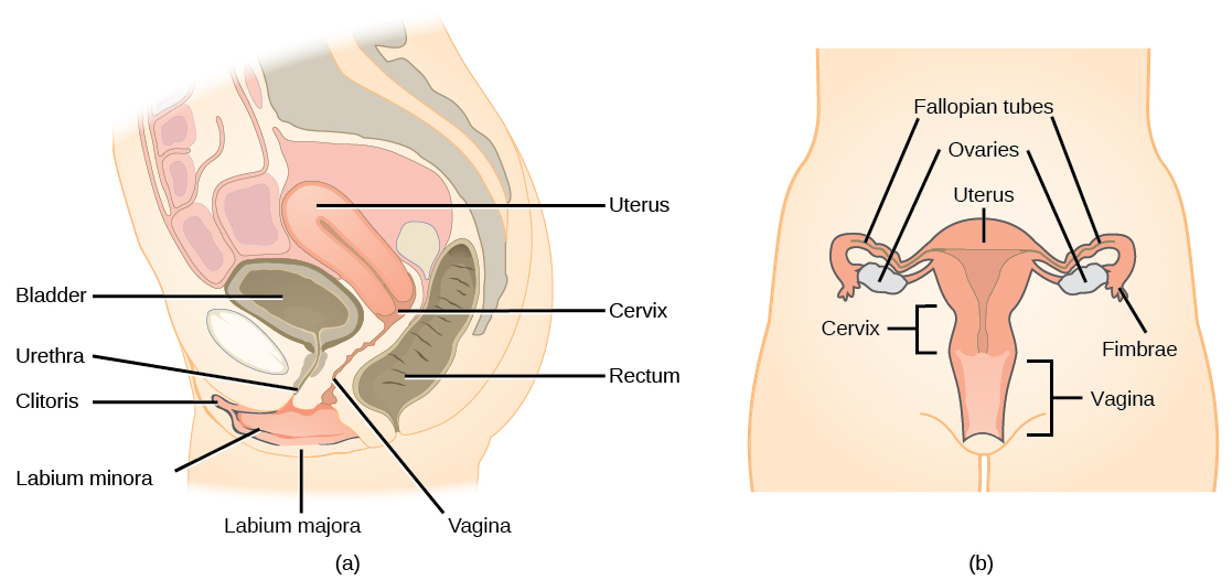 Female Reproductive Anatomy By Openstax Quizover