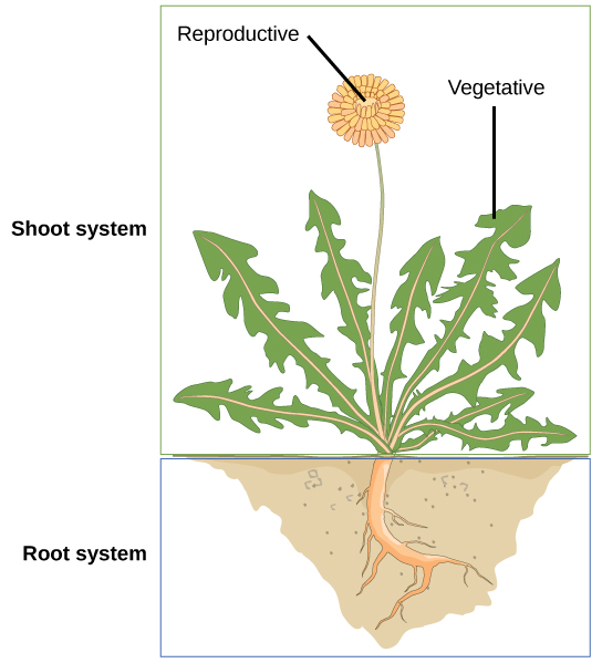 Illustration shows a dandelion plant. The shoot system consists of leaves and a flower on a stem. The root system consists of a single, thick root that branches into smaller roots.