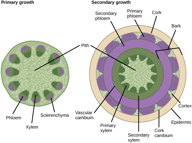 Left illustration shows a cross section of a woody stem undergoing primary growth. At the core of the stem is pith. Toward the outside are egg-shaped vascular bundles. Xylem is located toward the inside of the vascular bundle, and phloem is in the middle. Sclerenchyma cap the outside of the bundle. Right illustration shows a cross section of a woody stem undergoing secondary growth. As in primary growth, the core of the stem is pith. Outside the pith is a ring of secondary xylem. Rounded bundles of primary xylem tissue project from this ring into the pith. Outside the secondary xylem is a ring of secondary phloem tissue. The vascular cambium separates the xylem from the phloem. Outside the secondary phloem is the cortex layer. Bundles of primary phloem project outward from the secondary phloem into the cortex. A cork ring surrounds the cortex. The cork is separated from the cortex by a thin cork cambium. The bark of the tree extends from the vascular cambium to the epidermis.