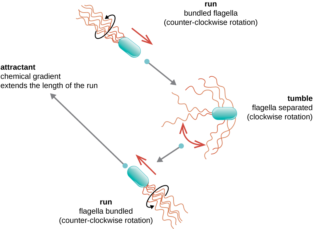 A diagram showing the run and tumble motion of bacteria. In the run, the bundeled flagella move in a counter clockwise rotation and the cell moves in a straight line. In the tumble, the flagella separate due to a clockwise rotation and the bacterial cell floats with no particular direction. This is followed by another run. If there is an attractant (a chemical gradient) the bacterial cell moves towards the attractant and the length of the run is extended.