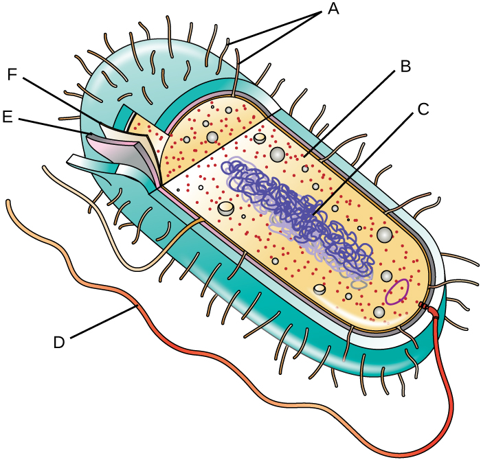 A diagram of a bacterial cell. The thick outer structure of the cell is not lableled. The next layer in (a thinner structure) is labeled E. A much thinner structure inside of that is labeled F. Inside of F is the main body of the cell. Small dots are labeled B. A long line forming a loop is labeled C. On the outside of the cell, short projectsions are labeled A and a long projection is labeled D.