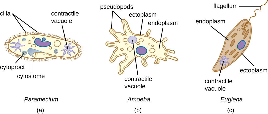 Protist Cell Structure Taxonomy of protists, ...