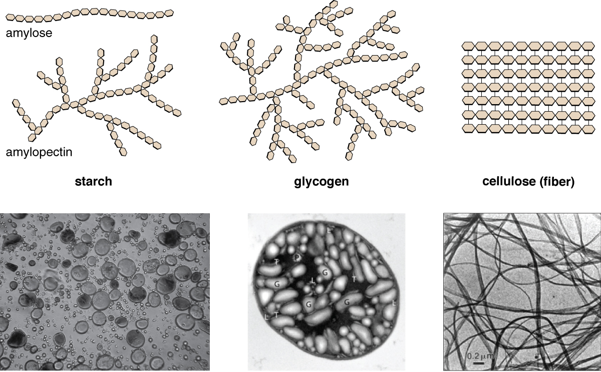 Amylose is a chain of hexagons. Starch is a branching chain of hexagons. Glycogen is a highly branching chain of hexagons. Cellulose (fiber) is many rows of hexagons attached into a flat square. Micrographs of starch look like water bubbles, glycogen look like ovals, and cellulose look like long strands.