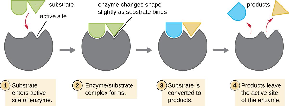 enzyme induced fit model fitness models. Black Bedroom Furniture Sets. Home Design Ideas