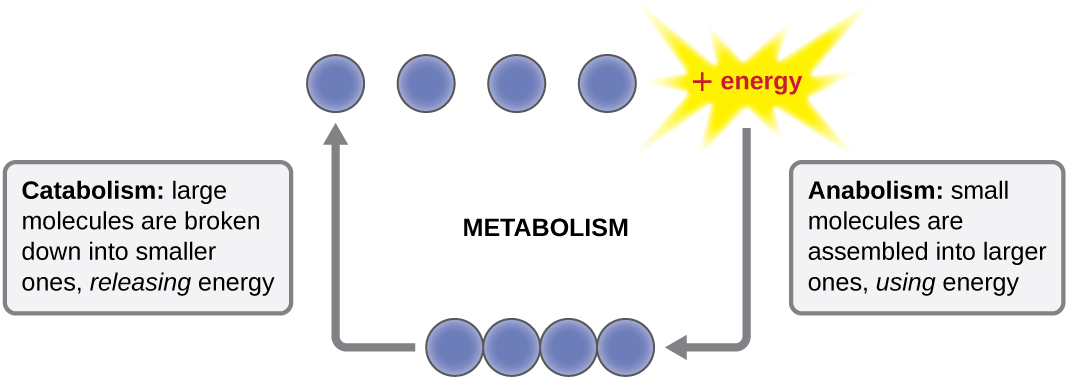 Diagram of metabolism. Catabolism: large molecules are broken down into small ones releasing energy. This is shown as a chain of 4 circles splitting into individual circles and Energy. The reverse process (using energy to connect the 4 circles) is anabolism. Anabolism: small molecules are assembled into larger ones, using energy.