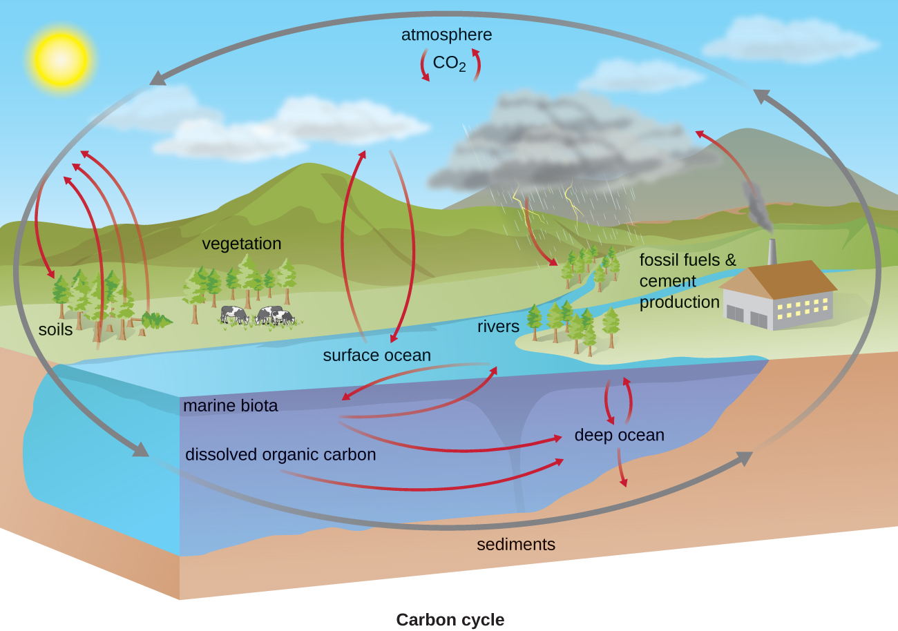 describe biogeochemical cycles carbon nitrogen essay Interactions between the terrestrial nitrogen (n) and carbon (c) cycles shape the   the terrestrial biogeochemical cycles have been disturbed in the past by  and  describes the nitrogen and carbon fluxes and stocks of vegetation and soil.