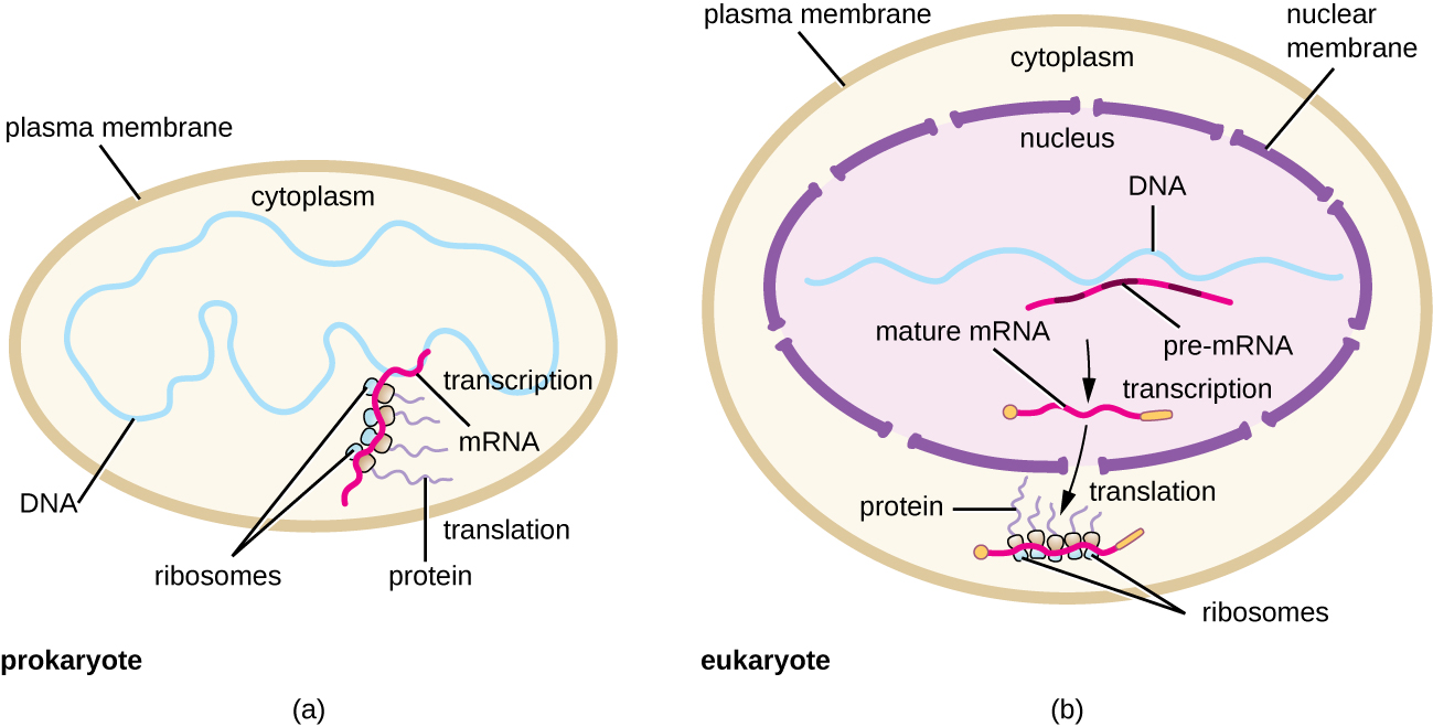 Fill in the blank protein synthesis translation by openstax a diagram of prokaryotic cell with a plasma membrane on the outside the dna pooptronica