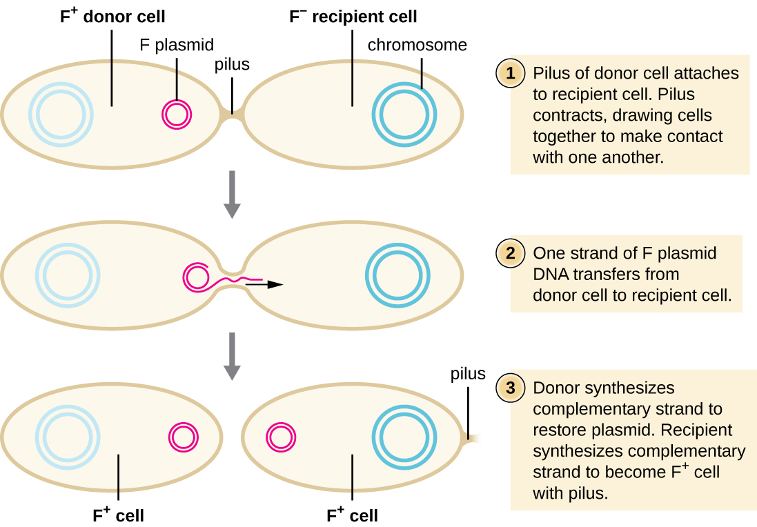 Diagram Of Prokaryotic Cell Drawing Electrical Wiring A Eukaryotic Conjugation The F Plasmid By Openstax Page 4 10 Plant