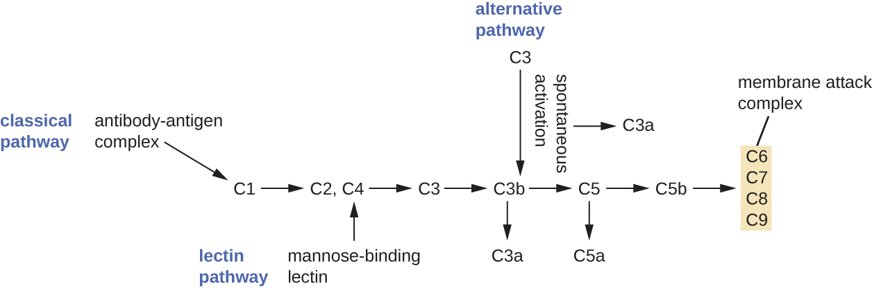 A diagram outlining the three complement pathways. At the top is the invading pathogen. Two antibodies bind to an antigen on the surface of the pathogen. C1 binds to the antigen-antibody complex. This is labeled the classic pathway. C1 causes C2 and C4 to be cut into two pieces. Parts of C2 and C4 bind together to form C3 convertase. The alternate pathway also leads to C3 convertase but does so directly. C3 convertase then cuts C3 in two and one of these binds to C3 convertase. The resulting enzyme is called C5 convertase. C5 convertase lyses C5 into two pieces. One of the C5 pieces joins other complement proteins (C6, C7, C8 and C9) to create a pore through the membrane of the invading cell. This pore kills the cell. Endogenous proteins on the host cell protect the host membrane from the complement proteins.