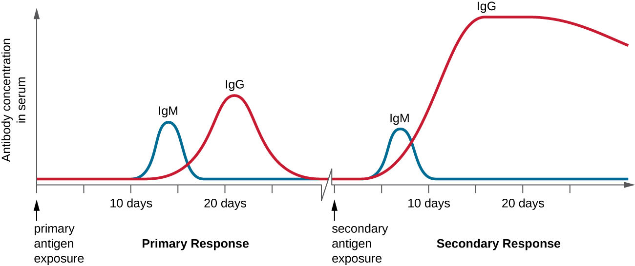 A graph with time on the X axis and antibody concentration in serum. At first there is very little antibody (near 0). The lag period does not see a significant increase. In the primary response, IgM peaks for about 5 days and drops. At the same time IgG increases and then drops. This creates an increase in antibody count with a plateau of about 5 days as both antibody types are present. The secondary response sees a peak of IgM for about 1 to 2 days and then a prolonged peak of IgG. The total antibody is also higher but isn't at its plateau for as long as it is in the primary response.