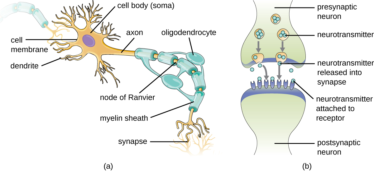 a) A drawing of a neuron. The cell body contains the nucleus and has short projections called dendrite. The cell also has a long projection called an axon wrapped in a layer called the myelin sheath. The myelin sheath layer covers most of the axon but also produces uncovered spaces at set intervals; each space is called a node of Ranvier. The myelin sheath is made from oligodendrocytes. At the end of the axon is a synapse. B) Diagram of a synapse. This is the region where two neurons come together (but they do not touch). The presynaptic neuron releases neurotransmitters into the synapse space. The post synaptic neuron has receptors on which the neurotransmitters attach.
