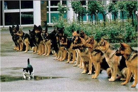 A cat walks past a line of German Shepherd polic dogs.
