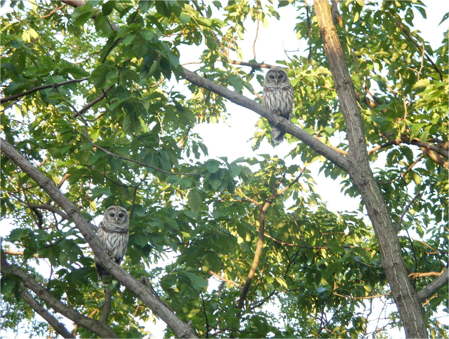 Two owls in a tree.