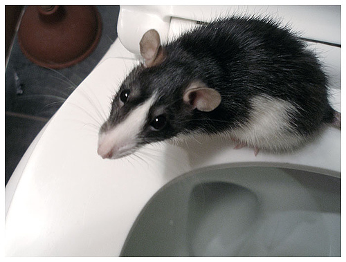 a rat standing on a toilet seat.