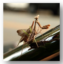 picture of female praying mantis being mounted by a male she has decapitated