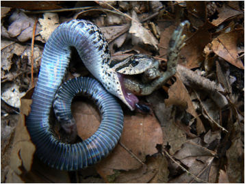 A hognose snake feigning death by rolling over and regurgitating its last meal.