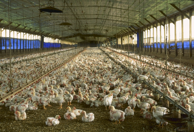 Photograph of a Commercial Meat Chicken Production House