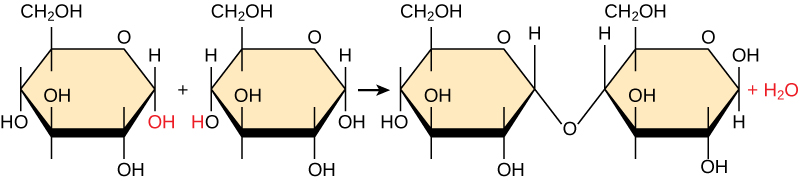 Shown is the reaction of two glucose monomers to form maltose. When maltose is formed, a water molecules is released.