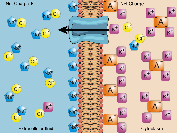 This illustration shows a membrane bilayer with a potassium channel embedded in it. The cytoplasm has a high concentration of potassium associated with a negatively charged molecule. The extracellular fluid has a high concentration of sodium associated with chlorine ions.
