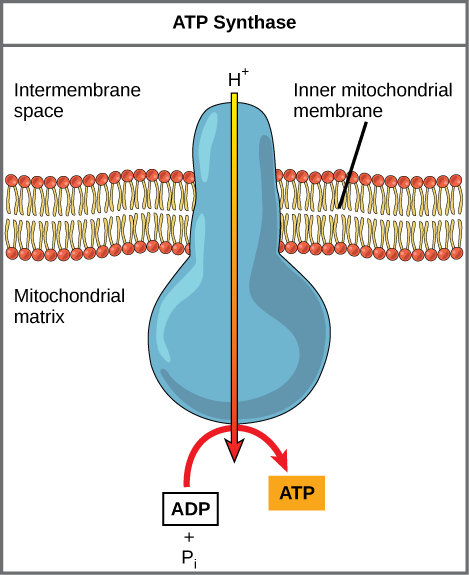 This illustration shows an ATP synthase enzyme embedded in the inner mitochondrial membrane. ATP synthase allows protons to move from an area of high concentration in the intermembrane space to an area of low concentration in the mitochondrial matrix. The energy derived from this exergonic process is used to synthesize ATP from ADP and inorganic phosphate.
