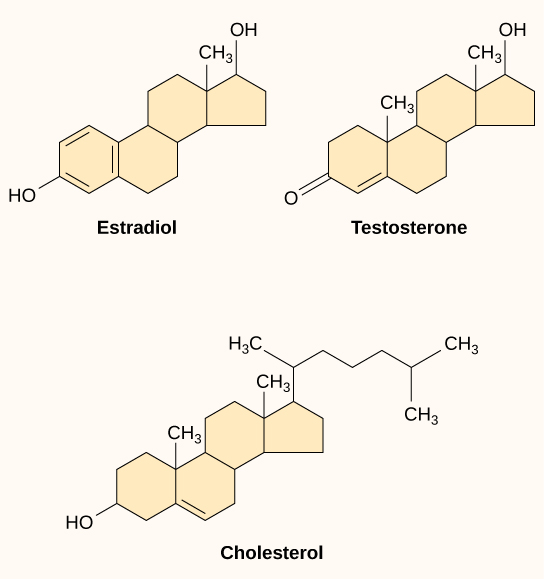 The molecular structures of estradiol, testosterone, and cholesterol are shown. All three molecules share a four-ring structure but differ in the types of functional groups attached to it.