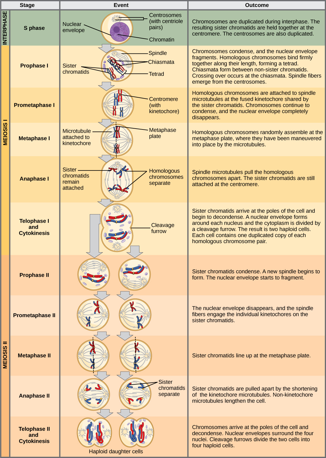 This illustration outlines the stages of meiosis. In interphase, before meiosis begins, the chromosomes are duplicated. Meiosis I then proceeds through several stages. In prophase I, the chromosomes begin to condense and the nuclear envelope fragments. Homologous pairs of chromosomes line up, and chiasmata form between them. Crossing over occurs at the chiasmata. Spindle fibers emerge from the centrosomes. In prometaphase I, homologous chromosomes attach to the spindle microtubules. In metaphase I, homologous chromosomes line up at the metaphase plate. In anaphase I, the spindle microtubules pull the homologous pairs of chromosomes apart. In telophase I and cytokinesis, the sister chromatids arrive at the poles of the cell and begin to decondense. The nuclear envelope begins to form again, and cell division occurs. Meiosis II then proceeds through several stages. In prophase II, the sister chromatids condense and the nuclear envelope fragments. A new spindle begins to form. In prometaphase II, the sister chromatids become attached to the kinetochore. In metaphase II, the sister chromatids line up at the metaphase plate. In anaphase II, the sister chromatids are pulled apart by the shortening spindles. In telophase II and cytokinesis, the nuclear envelope forms again and cell division occurs, resulting in four haploid daughter cells.