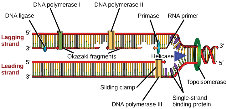 "Illustration shows the replication fork. Helicase unwinds the helix, and single-strand binding proteins prevent the helix from re-forming. Topoisomerase prevents the DNA from getting too tightly coiled ahead of the replication fork. DNA primase forms an RNA primer, and DNA polymerase extends the DNA strand from the RNA primer. DNA synthesis occurs only in the 5' to 3' direction. On the leading strand, DNA synthesis occurs continuously. On the lagging strand, DNA synthesis restarts many times as the helix unwinds, resulting in many short fragments called ""Okazaki fragments."" DNA ligase joins the Okazaki fragments together into a single DNA molecule."