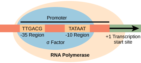 Illustration shows the σ subunit of RNA polymerase bound to two consensus sequences that are 10 and 35 bases upstream of the transcription start site. RNA polymerase is bound to σ.