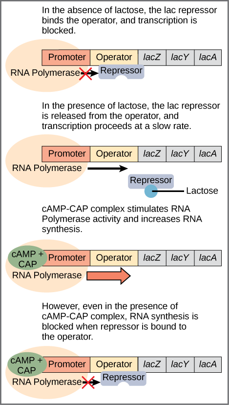 The lac operon consists of a promoter, an operator, and three genes named lacZ, lacY, and lacA. RNA polymerase binds to the promoter. In the absence of lactose, the lac repressor binds to the operator and prevents RNA polymerase from transcribing the operon. In the presence of lactose, the repressor is released from the operator, and transcription proceeds at a slow rate. Binding of the cAMP–CAP complex to the promoter stimulates RNA polymerase activity and increases RNA synthesis. However, even in the presence of the cAMP–CAP complex, RNA synthesis is blocked if the repressor binds to the promoter.