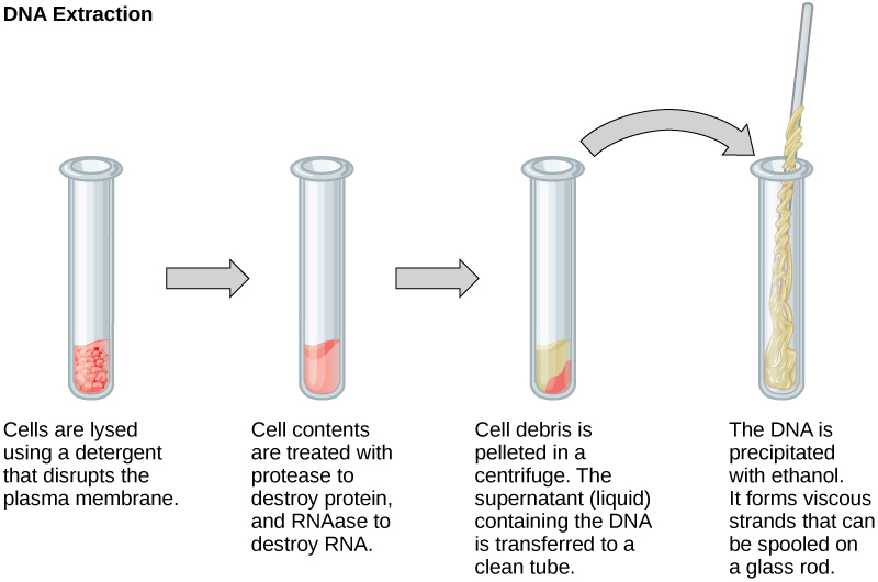 This illustration shows the four main steps of DNA extraction. In the first step, cells in a test tube are lysed using a detergent that disrupts the plasma membrane. In the second step, cell contents are treated with protease to destroy protein, and RNAase to destroy RNA. The resulting slurry is centrifuged to pellet the cell debris. The supernatant, or liquid, containing the DNA is then transferred to a clean test tube. The DNA is precipitated with ethanol. It forms viscous, mucous-like strands that can be spooled on a glass rod