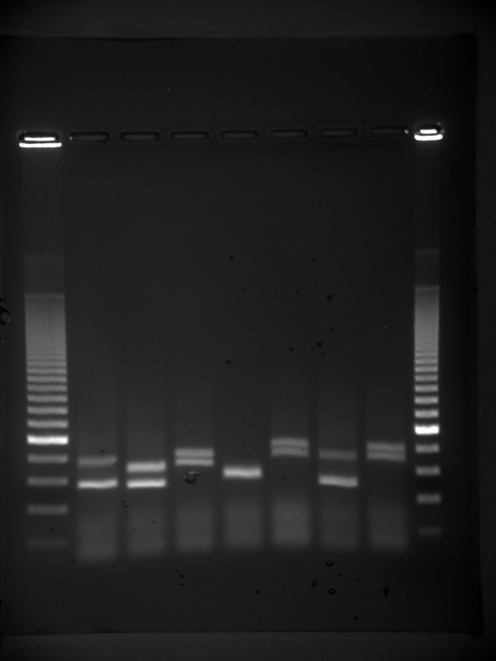 Photo shows an agarose gel illuminated under UV light. The gel contains nine lanes from left to right. Each lane was loaded with a sample containing DNA fragments of differing size that separated as they travelled through the gel from top to bottom. The DNA appears as thin, white bands on a black background. Lanes one and nine contain many bands from a DNA standard. These bands are closely spaced toward the top, and spaced farther apart further down the gel. Lanes two through eight contain one or two bands each. Some of these bands are identical in size and run the same distance into the gel. Others run a slightly different distance, indicating a small difference in size.