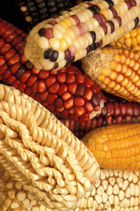 Photo shows corn cobs with different colors, including yellow, white, red, and a mixture of these colors.
