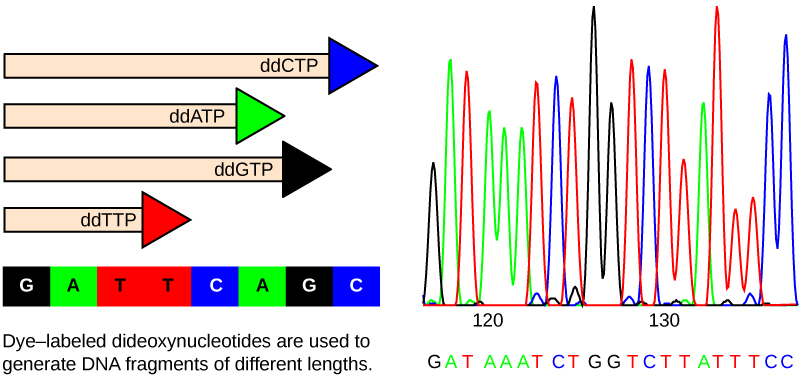 The left part of this illustration shows a parent strand of DNA with the sequence GATTCAGC, and four daughter strands, each of which was made in the presence of a different dideoxynucleotide: ddATP, ddCTP, ddGTP, or ddTTP. The growing chain terminates when a ddNTP is incorporated, resulting in daughter strands of different lengths. The right part of this image shows the separation of the DNA fragments on the basis of size. Each ddNTP is fluorescently labeled with a different color so that the sequence can be read by the size of each fragment and its color.