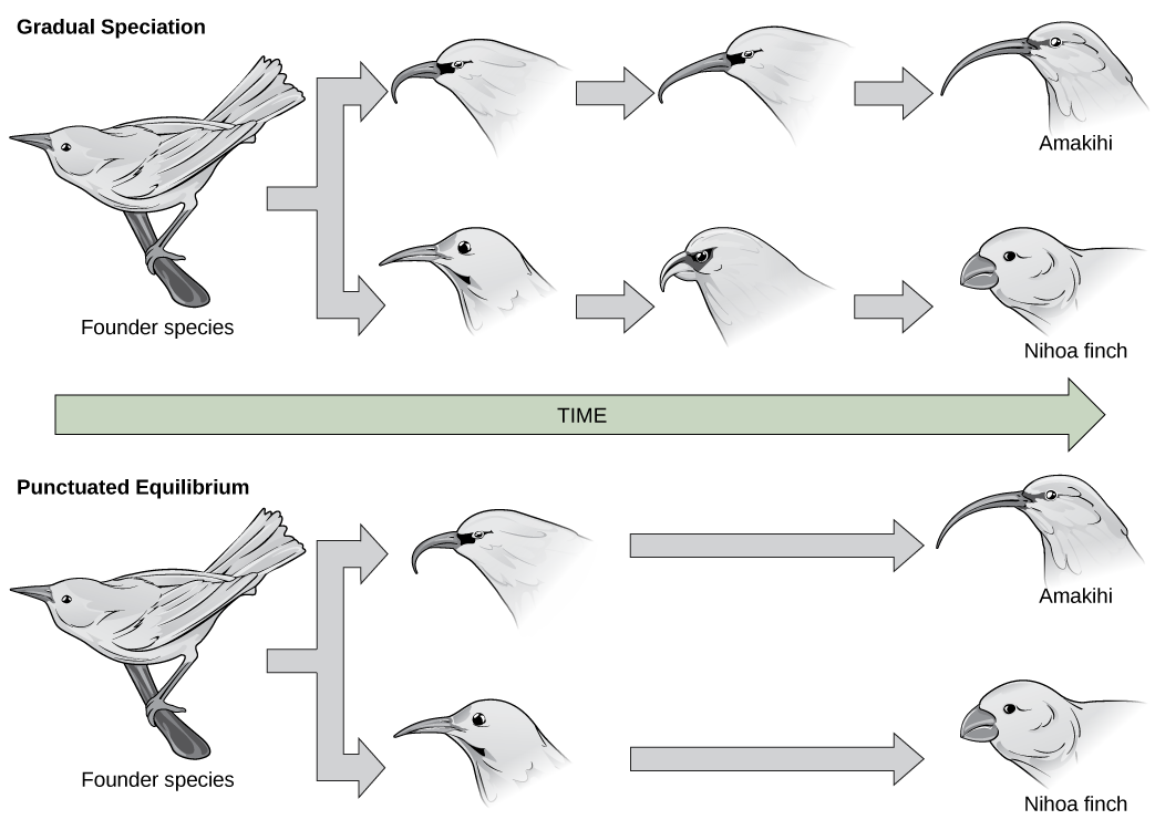 In the gradual speciation example, a founder species of bird diverges into one species with a hooked beak, and another with strait beak. Over time, the hooked beak gets longer and thinner, and the straight beak gets shorter and fatter. In the punctuated equilibrium example, as in the graduated speciation example, the founder species diverges into one species with a hooked break and another with a straight beak. However, in this case the hooked and straight beaks gives rise immediately to long, thin and short, fat beaks.