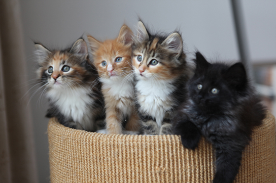 This photo shows four kittens in a basket: two are gray, black, orange, and white, the third cat is orange and white, and the fourth cat is black.