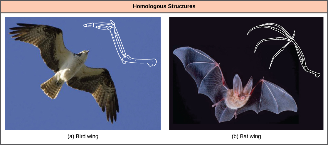 Photo a shows a bird in flight with a corresponding drawing of a bird wing. Photo b is a bat in flight with a corresponding drawing of a bat wing. Both the bird wing and the bat wing share common bones, analogous to the bones in the arms and fingers of humans. However, in the bat wing, the finger bones are long and separate and form a scaffolding on which the wing's membrane is stretched. In the bird wing, the finger bones are short and fused together at the front of the wing.
