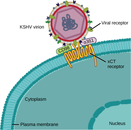 In the illustration a viral receptor on the surface of a KSHV virus is attached to an xCT receptor embedded in the plasma membrane.