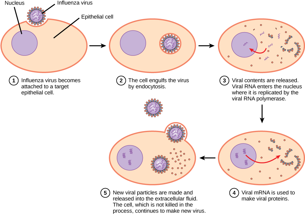 The illustration shows the steps of an influenza virus infection. In step 1, influenza virus becomes attached to a target epithelial cell. In step 2, the cell engulfs the virus by endocytosis, and the virus becomes encased in the cell's plasma membrane. In step 3, the membrane dissolves, and the viral contents are released into the cytoplasm. Viral mRNA enters the nucleus, where it is replicated by viral RNA polymerase. In step 4, viral mRNA exits to the cytoplasm, where it is used to make viral proteins. In step 5, new viral particles are released into the extracellular fluid. The cell, which is not killed in the process, continues to make new virus.